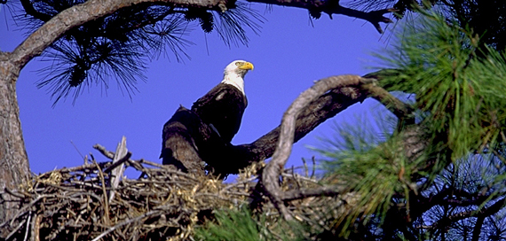 Adult eagles have a white head and tail, while juvenile eagles have a brown head and tail for the first 4-5 years of their life.