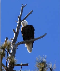 February eagle counts in the Big Bear Valley have resulted in as many as 27 here (in 1979); last February's count was not held, due to severe snow.