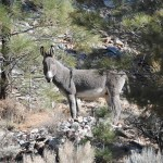 This burro opted not to join the others in the Forest Service's corral but, we're told, watched from afar.