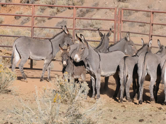 These are among the 50 burros rounded up in the Big Bear Valley in October and November, and now available for adoption through the BLM in Ridgecrest.