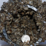 Boaters Can Help Fight Spread of Invasive Mussels Over Labor Day Weekend