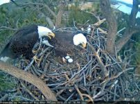 Big Bear Bald Eagle Lays Two Eggs - Area Closed to Public - Eagle Count 1/13/18