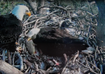 Bald Eagle Chicks Hatch in Big Bear