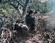 Big Bear Saddened by Loss of Eaglet