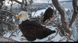 UPDATE: EAGLE COUNT POSTPONED DUE TO WEATHER – Big Bear Bald Eagles Are Mating.