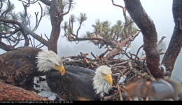 Eagle Update: Second Egg Laid!                                       Baby Eagle in Our Future?