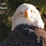 Volunteers Needed For Bald Eagle Spotting