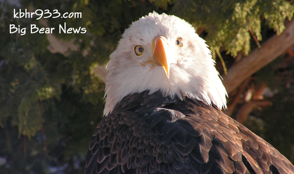 Bald-Eagle-Moonridge-Zoo-Bi