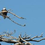 Five Eagles Observed Over Weekend