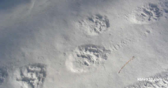 Fresh bear tracks! Moonridge residents have been among those to have bears visit them in recent weeks.