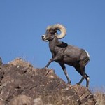 Desert_Bighorn_Sheep_Joshua_Tree_3