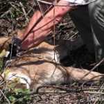 Sheriff's Deputies Put Down Mountain Lion at Baker Pond Thursday Morning; DFG Confirms Same Animal from Last Week's Attacks
