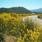 San Bernardino National Forest Awards Contracts to Remove Spanish Broom