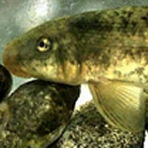 MWD 1 of 12 Agencies Filing Suit Against U.S. Fish & Wildlife Service