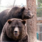 Fall is the Season for Heightened Bear Activity in the High Country