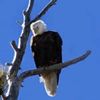 Bald Eagles Seen In Local Mountains