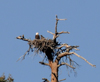 Bald Eagle Chick Hatched At Big Bear Lake