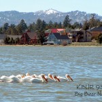 White pelicans on Stanfield Marsh in Big Bear
