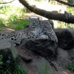 snow-leopards-300x166